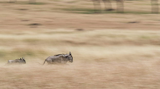 Wildebeest Running Through Grasslands - Panning Blur by Susan Schmitz