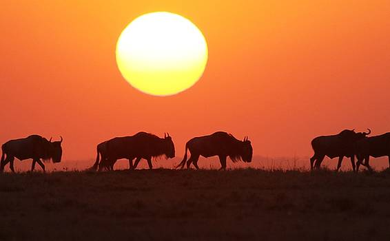Wildebeest Sunset by Ann Sullivan