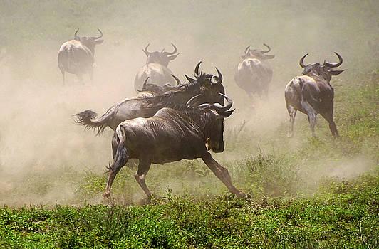 Dennis Cox WorldViews - Wildebeests Fleeing
