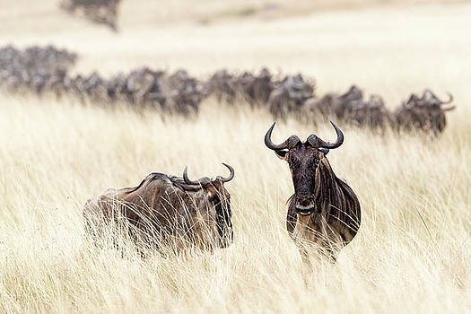 Wildebeest in Tall Grass Field in Kenya by Susan Schmitz