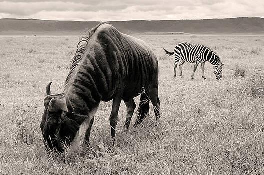 Wildebeest And Zebra by Stefano Buonamici