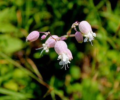 Bladder Campion Wildflower by Brian Lucia