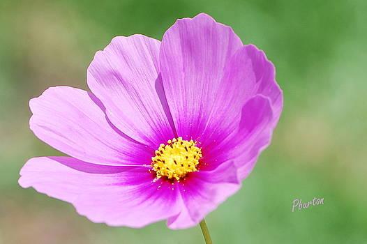 Wildflower II by Phil Burton