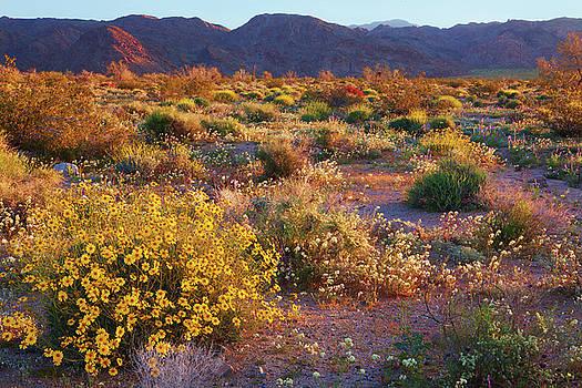 Wildflower Meadow at Joshua Tree National Park by Ram Vasudev