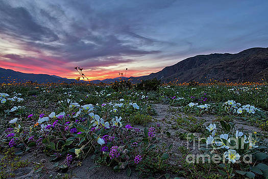 Wildflower Super Bloom Sunset in Anza Borrego Desert by Sam Antonio Photography