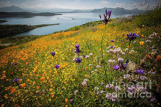 Wildflower Superbloom 10 by Daniel Knighton