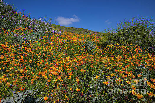 Wildflower Superbloom 11 by Daniel Knighton