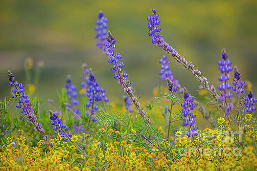 Wildflower Superbloom 3 by Daniel Knighton