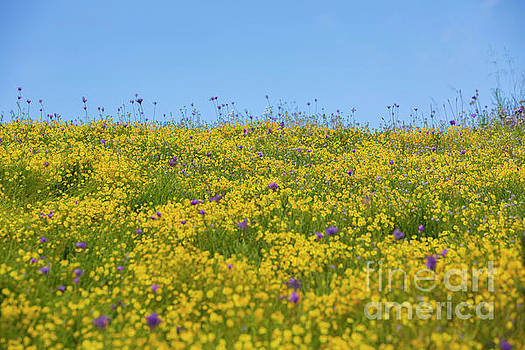 Wildflower Superbloom 6 by Daniel Knighton