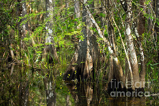 Wildflowers and Cypress Trunks in Florida Swamp by Matt Tilghman