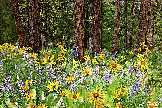 Balsamroot and Lupine in a Ponderosa Pine Forest by Jeff Goulden