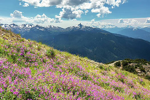Wildflowers on Whistler Mountain by Pierre Leclerc Photography