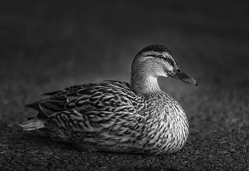 Wildfowl Centre 4 by Phil Fitzsimmons