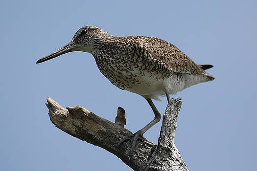 Willet by DVP Artography