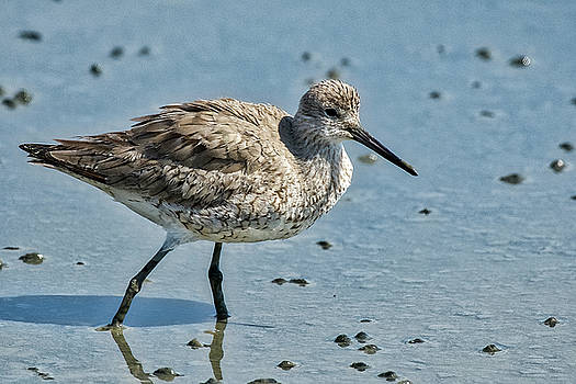 Willet Searching for food by TJ Baccari