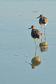 Willets on Jekyll by Bruce Gourley