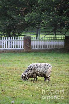 Williamsburg Sheep by Rachel Morrison