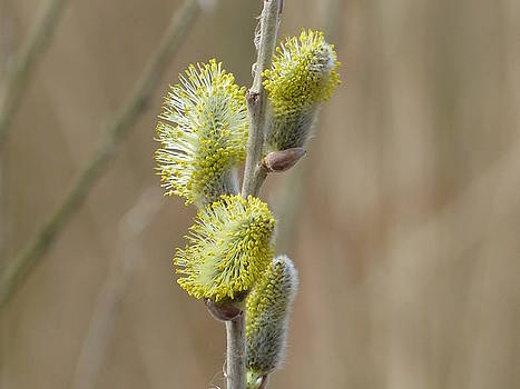 Willow breaking out by Sarah Fowle