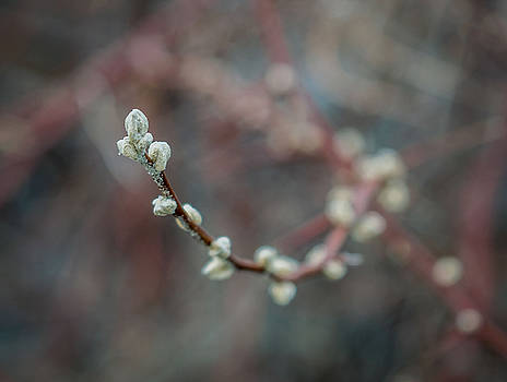 Willow Buds by Susan Hamilton