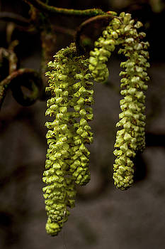 Willow Catkins by Keith Elliott