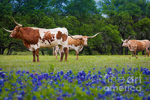 Willow City Longhorns by Inge Johnsson