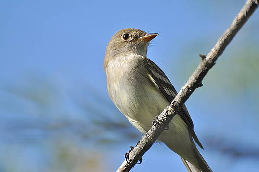 Willow Flycatcher 3 by Gerald Hiam