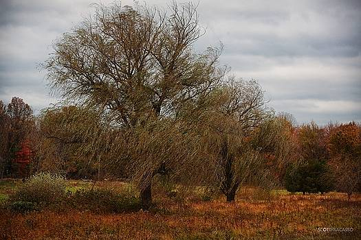 Willows in the Wind by Scott Fracasso