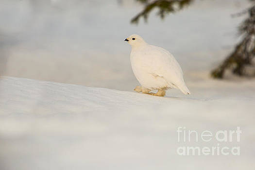 Willow ptarmigan Lagopus lagopus by Gabor Pozsgai