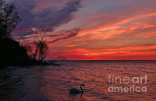 Wilson Swan Sunset  by Tony Lee