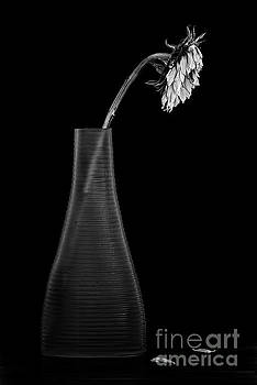 Wilting B W by Serge Chriqui