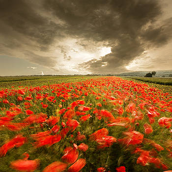 Wind is painting a poppy field by Floriana Barbu