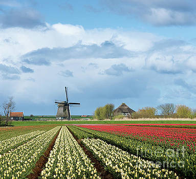 Windmill with tulip flower fields in the countryside by IPics Photography