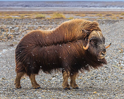 windy Muskoxen  by Zane Giles