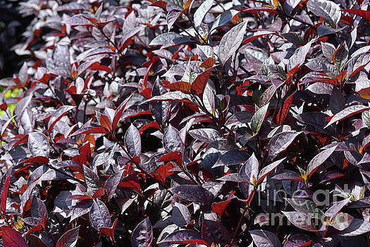 Wine Colored Plants,  by Ruth Housley