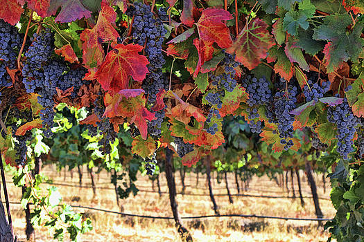 Wine Country Fall Colors Harvest Vineyard Grapes and Vines by Stephanie Laird