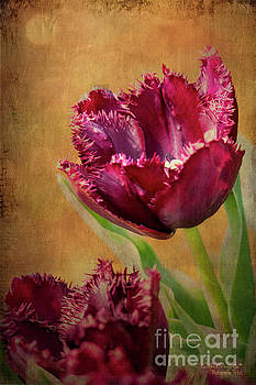 Wine Dark Tulips from my Garden by Chris Armytage