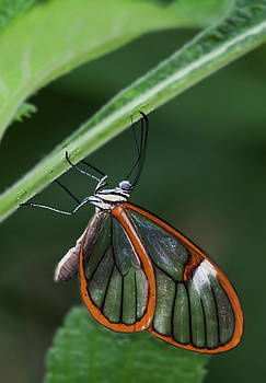 Wings As Clear As Glass by Ruth Jolly