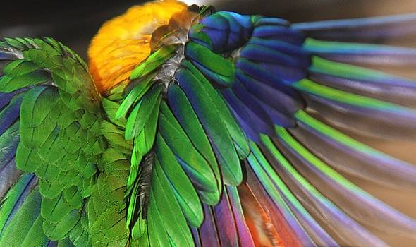 Wings of a Conure by Andrea Lazar