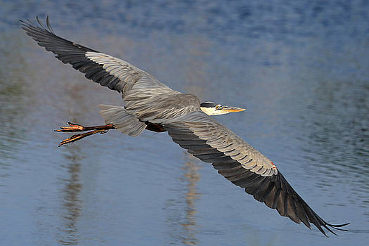 Wingspan In Blue by Donna Kennedy