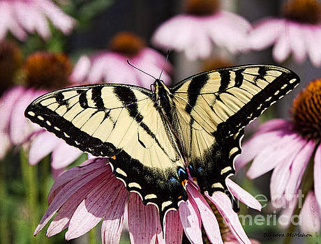 Barbara McMahon - Wingspan of The Male Yellow Eastern Swallowtail