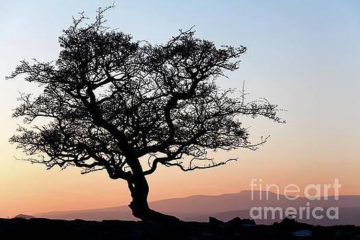 Winskill hawthorne tree silhouette by Gavin Dronfield