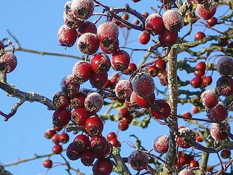 Winter Berries 1 by Joanne Simpson