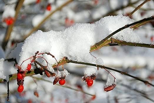 Winter Berries by Cathy Hacker