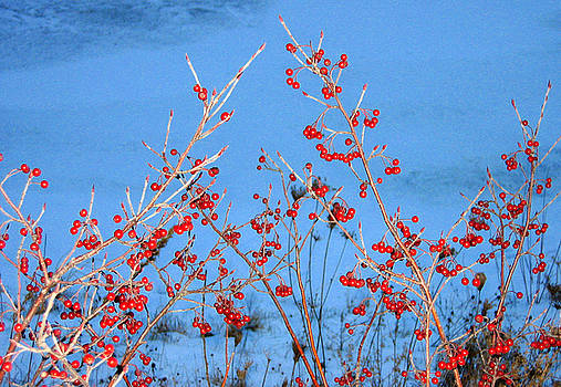 Winter Berries by Rein Nomm
