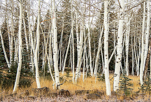 Winter Birches by Gordon Ripley