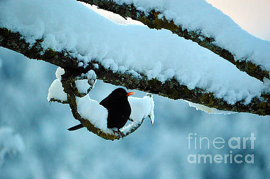 Susanne Van Hulst - Winter Bird in Snow - Winter in Switzerland