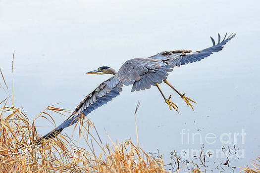 Tim Moore - Winter Blue Heron