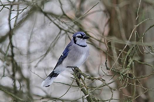 Winter Blue Jay by Linda Crockett