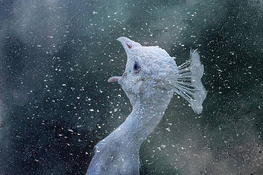 Jai Johnson - Winter Calling White Peacock Art
