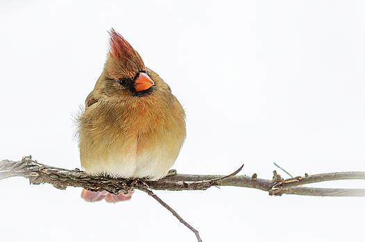 Winter Cardinal by Jim Johnson
